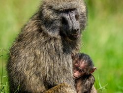Aberdare National Park mother baboon with baby