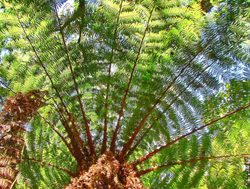 Fern tree in Amboro National Park
