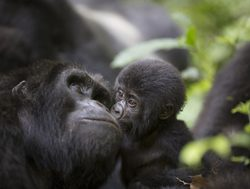 Bwindi Impenetrable National Park baby gorilla kissing mother