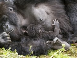 Bwindi Impenetrable National Park baby gorilla nursing