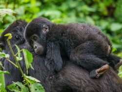 Bwindi Impenetrable National Park baby gorilla on mother%27s back
