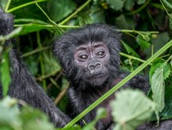 Bwindi Impenetrable National Park baby gorilla