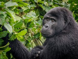 Bwindi Impenetrable National Park foraging
