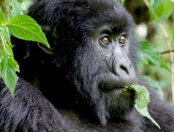 Bwindi Impenetrable National Park gorilla eating