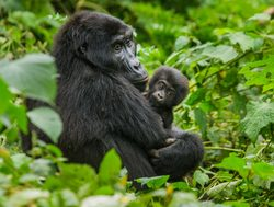 Bwindi Impenetrable National Park mother gorilla with baby