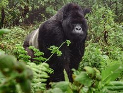 Bwindi Impenetrable National Park silverback gorilla