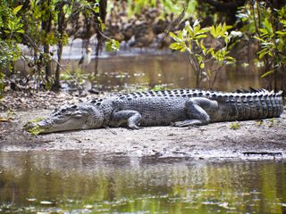 20210209185559-Kakadu National Park saltwater crocodile on beach.jpg