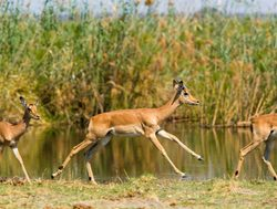 Khaudum National Park impala running