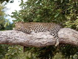 Kruger National Park leopard layingn in a tree