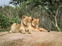 Kruger National Park pair of lions