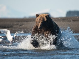 20210214221129-Grizzly bear running up the river in Lake Clark.jpg