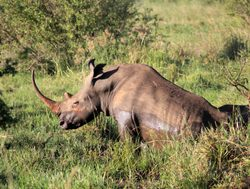 Mount Meru National Park rhino with long horn