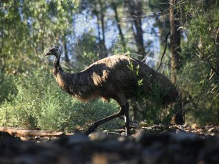 20210210182931-Mount Remarkable National Park emu.jpg
