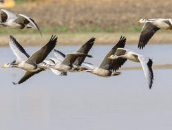 Ranthambore National Park Barheaded geese