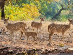 Ranthambore National Park family of spotted deer