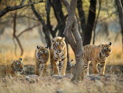 Ranthambore National Park family of tigers