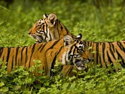 Ranthambore National Park pair of tigers