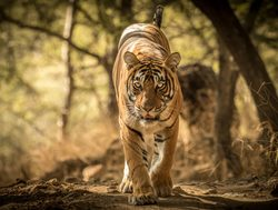 Ranthambore National Park tiger prowling