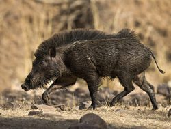 Ranthambore National Park wild boar