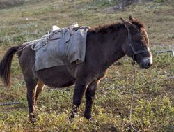 Picture of a mule in Royal Manas Bhutan