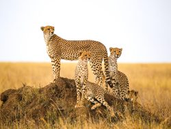 Serengeti National Park cheetahs