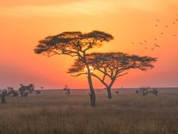 Serengeti National Park sunset with acacia treesjpg