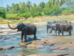 Yala National Park elephants playing in river