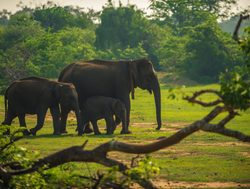 Yala National Park elephants