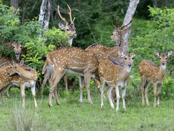 Yala National Park herd of spotted deer