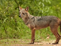 Yala National Park jackal