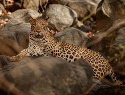 Yala National Park leopard laying on rock