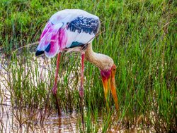 Yala National Park painted stork