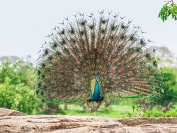 Yala National Park peacock