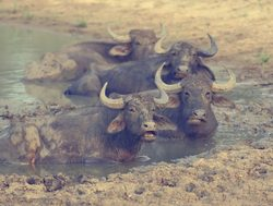 Yala National Park water buffalo