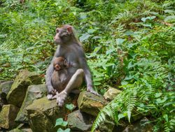 Mother macaque with baby in China Zhangjiajie